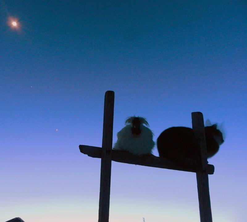 Луна, Венера, Юпитер и Рыч с любимым петушком!