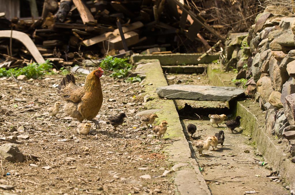 15. Китайская наседка и цыплятки. Прогулка по деревне Ма'ан в Китае.