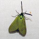 Zygaenidae(Пестрянки)