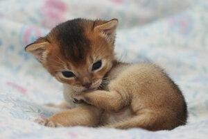 Абиссинская кошка дикого окраса, 18 дней