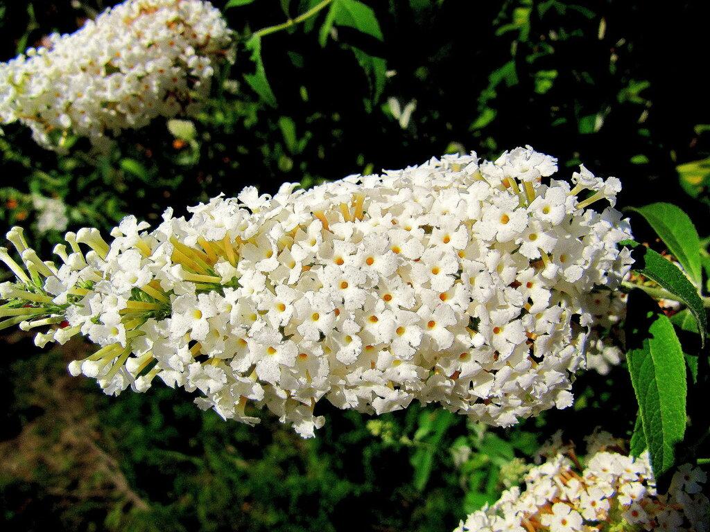Будлея белоцветковая