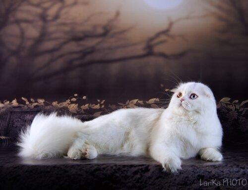 Best In Breed, Best Adult - 94 Kindlycat`s Hollywood (Male) SFL w 63 Степанова А. . Усть-Каменогорск