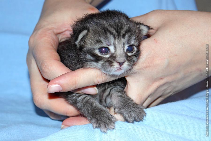 10-и дневные котята Мейн-кун