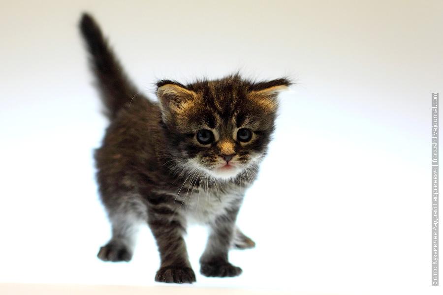 котенок Мейн-кун Девочка Murmurcat Lisa Marie (Лиза)
