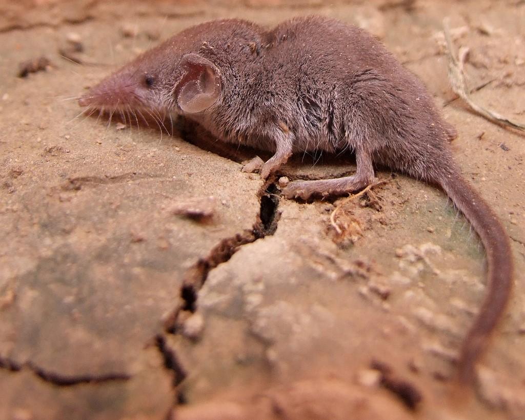 Самое маленькое млекопитающее в мире очень, землеройка, может, Однако, млекопитающее, служат, веществ, обмена, весом, многозубки, более, белозубка, сопровождается, сокращений—, изоцепенения, резким, Выход, увеличением, сердечных, времени