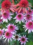 Echinacea  Butterfly Kisses  и Echinacea Irresistible (1).JPG