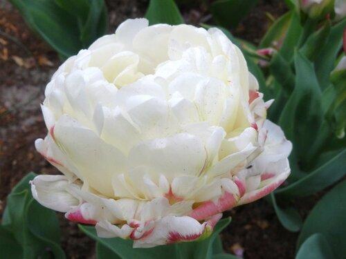 Tulipa paeonyflowering
