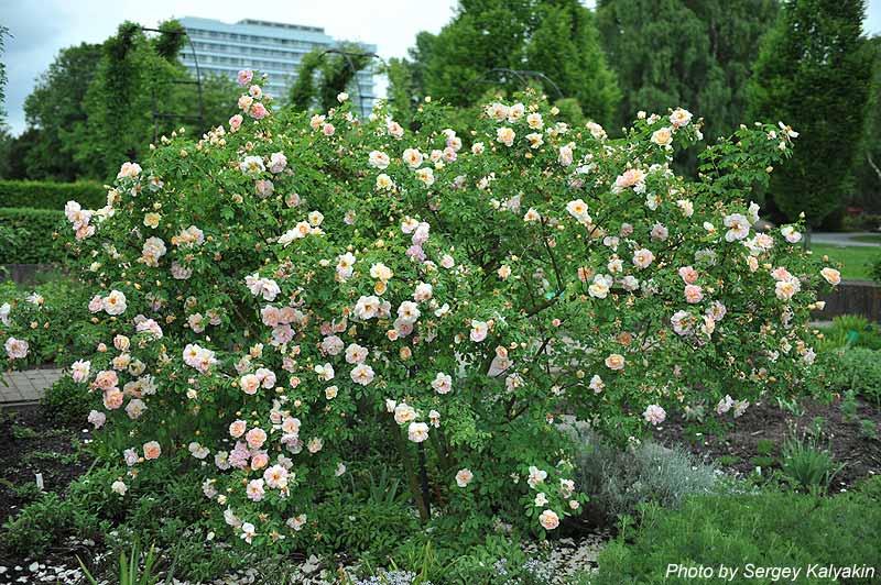 Rosa Fruehlingsduft (12).jpg