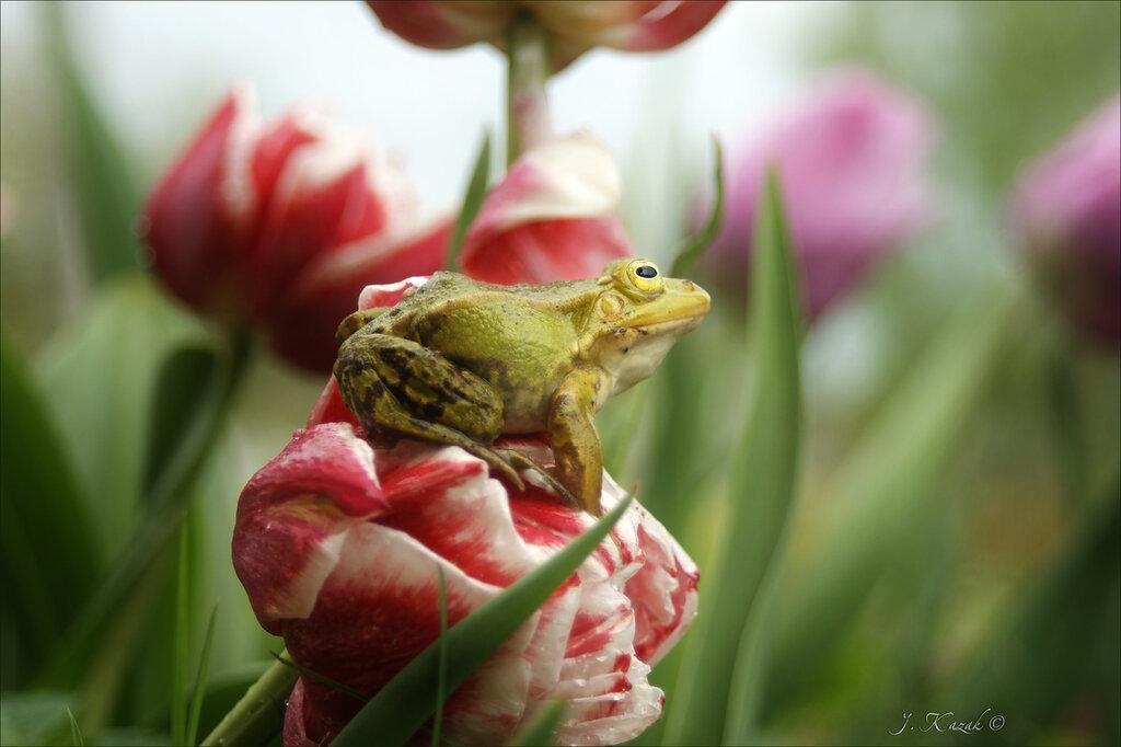 Лягушка и тюльпаны.