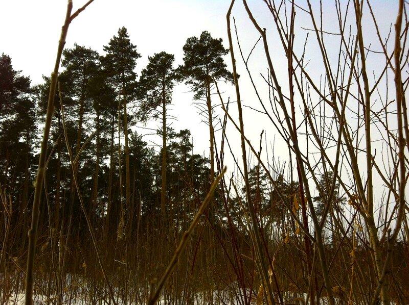 Травы и сосны