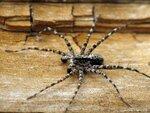 Пауки, Araneae, Aranei