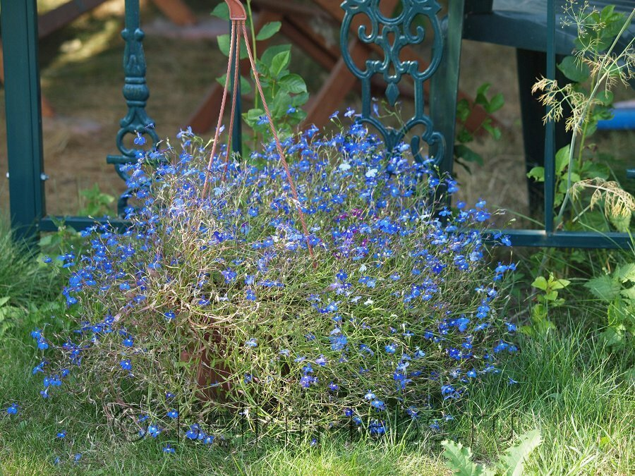 Лобелия цветок выращивание 81