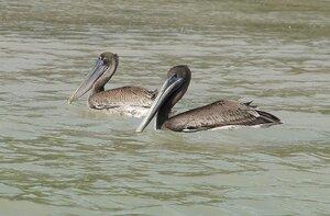 Молодые пеликаны