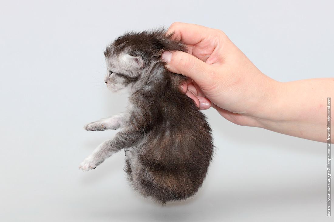 котенок мейнкун купить