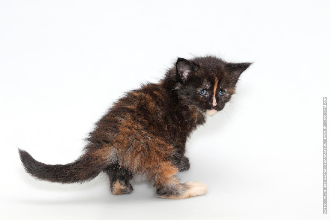 30 дней котенок мейн-кун