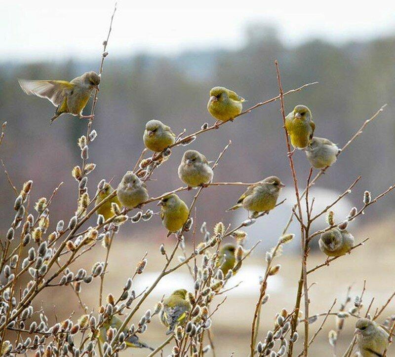 картинки ранняя весна верба и птички уютное место идеально