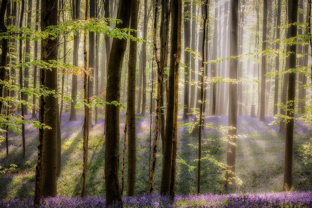 Фотографии Халлербоса   лес синих колокольчиков в Бельгии 0 140af5 38f598c7 orig