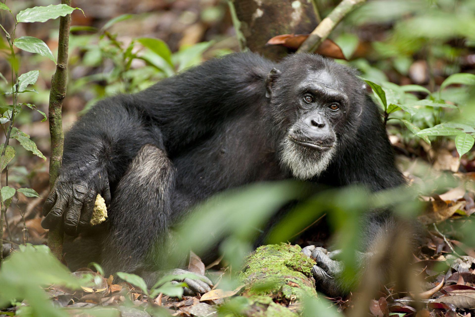 Шимпанзе в думках про своє