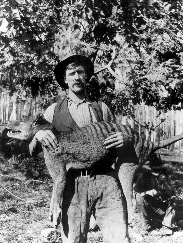 1909 год. Взрослый сумчатый волк и три детёныша в зоопарке Хобарта.