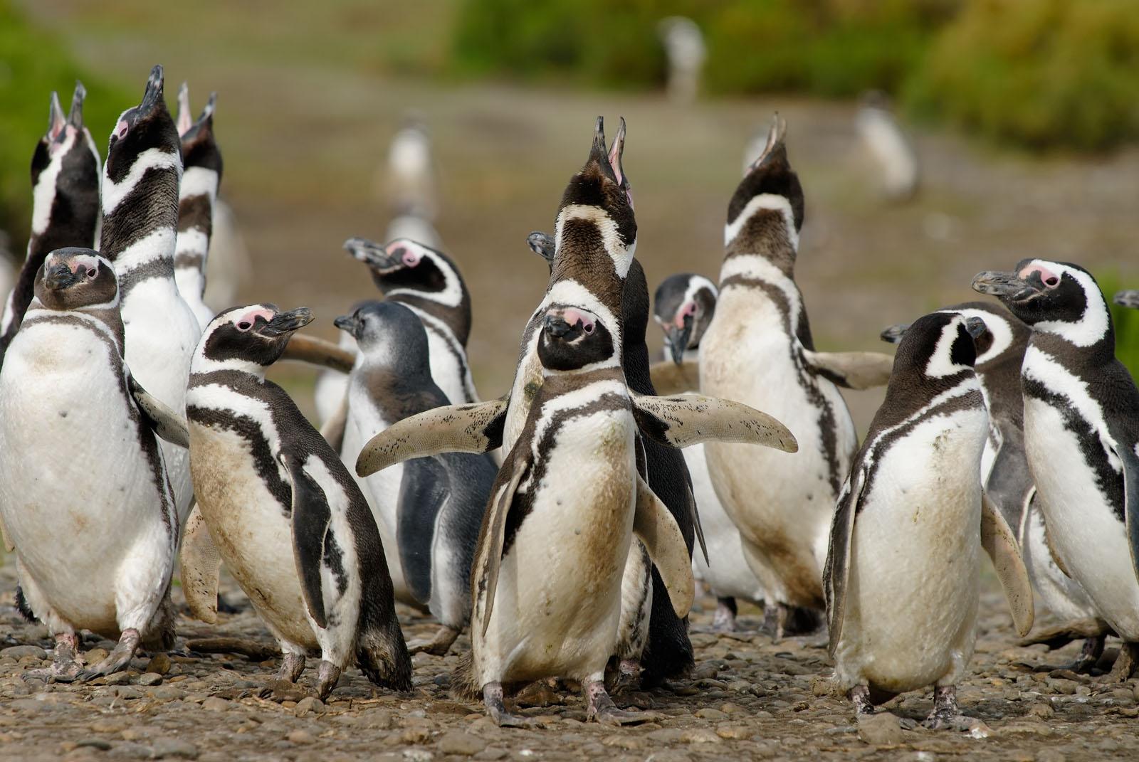 Колония этих пернатых расположена в заповеднике Пунто Томбо. Они приплывают сюда на гнездования. За
