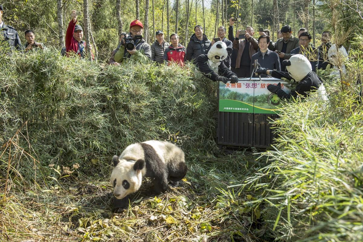 Чжан Сиань — двухлетнюю панду, родившуюся в неволе, — выпустили в дикую природу. (Ami Vitale)