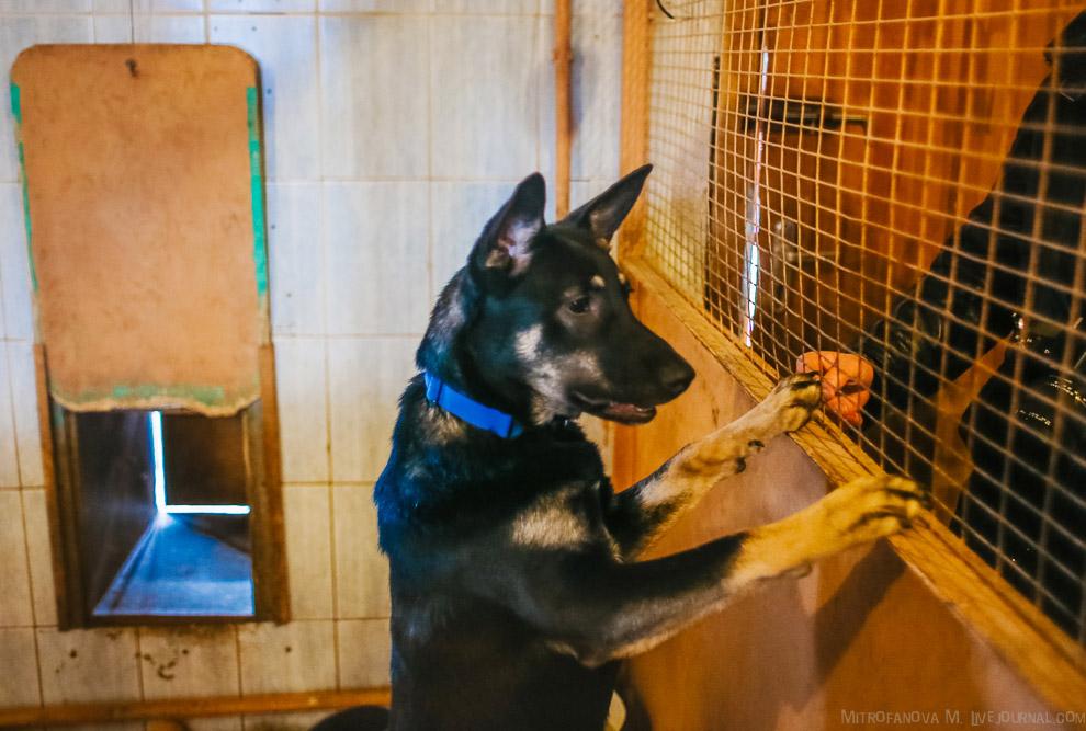 26. Собаки зачастую живут в приюте всю жизнь, поэтому приют переполнен. Собак не хотят брать, п