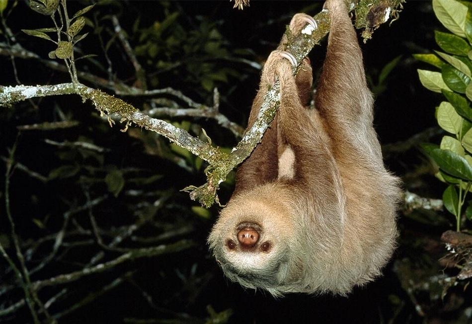 Домом карликовых ленивцев является остров Исла-Эскудо-де-Верагуас (Панама), там они проживают в коли
