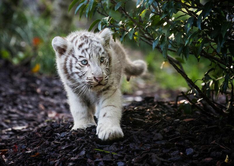 Белый тигрёнок. Автор фото: Jean-Claude Sch.