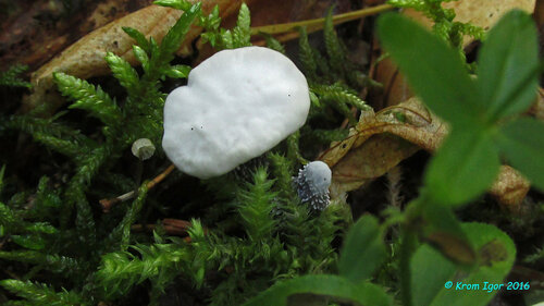 Гиднеллум пахучий (Hydnellum suaveolens)  Автор фото: Кром Игорь