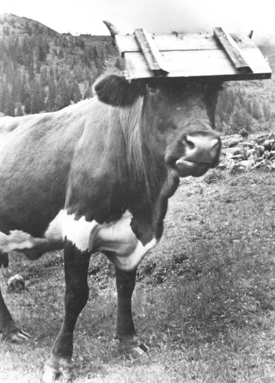 Не только коровы имеют доску на голове