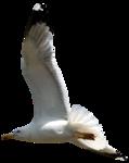 feli_syd_flying seagull3.png