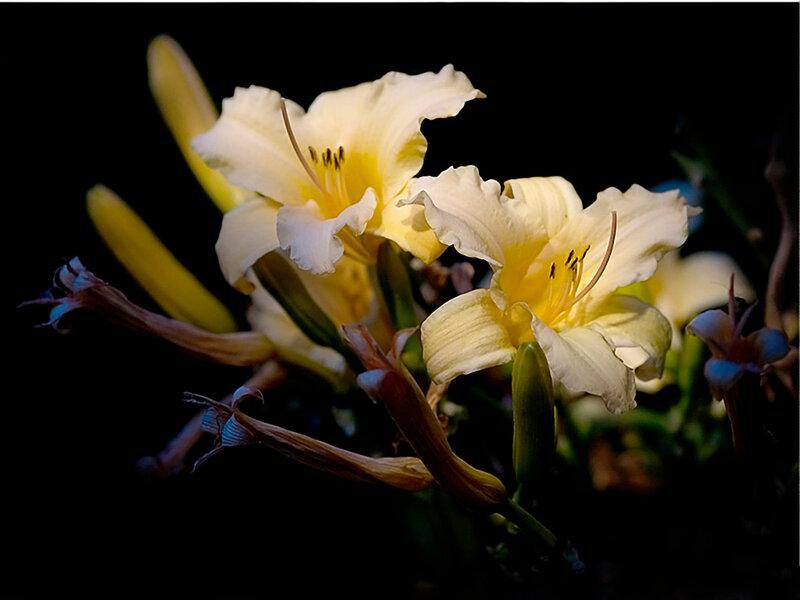 (1024х768, 132 Kb) Лилии крупным планом - обои скачать бесплатно и фотографии, обои цветы.