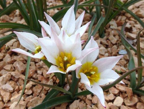 Средневековые тюльпаны