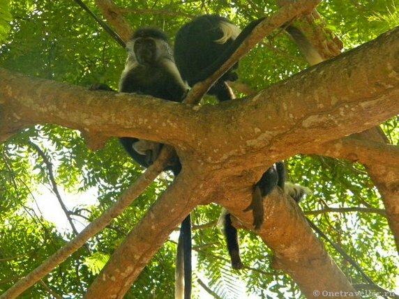 Кения. Редкий вид обезьян колобос.