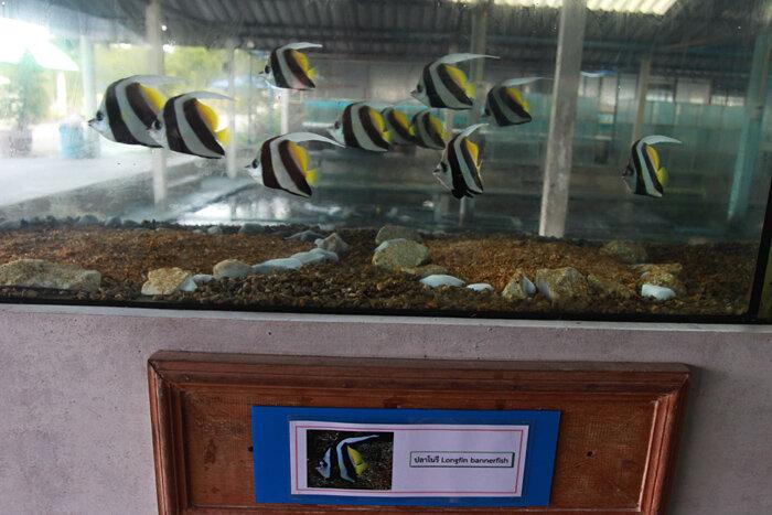 Разведение рыб в Краби