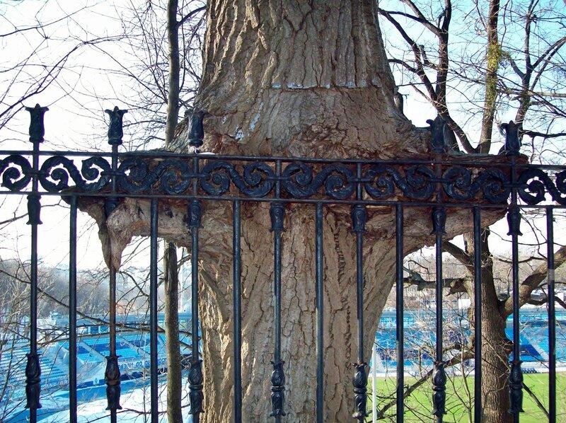 Дерево вросло в ограду стадиона Динамо