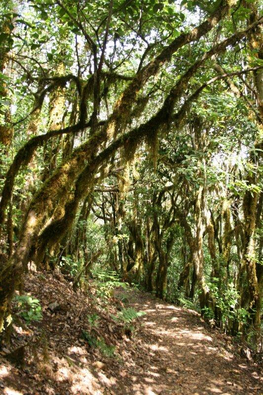 Тенерифе, горы Анага, реликтовые леса