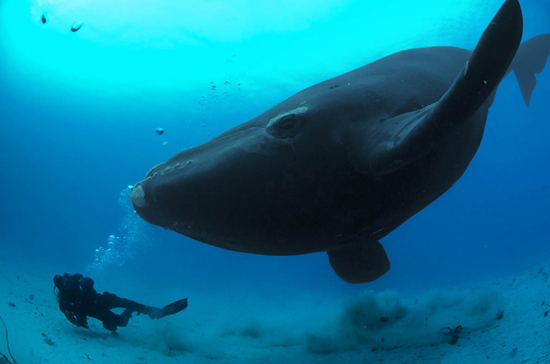 Синий кит - самое большое существо на земле