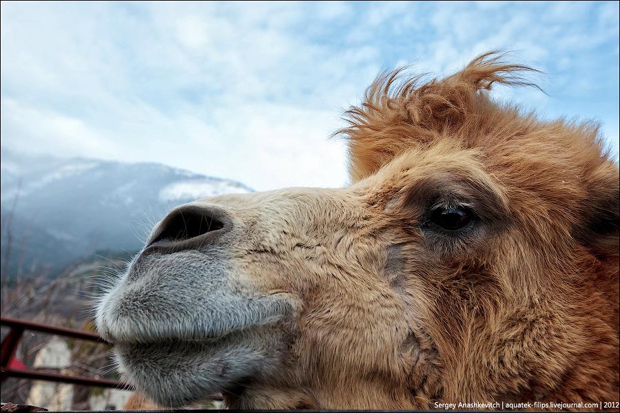 Верблюд в горах