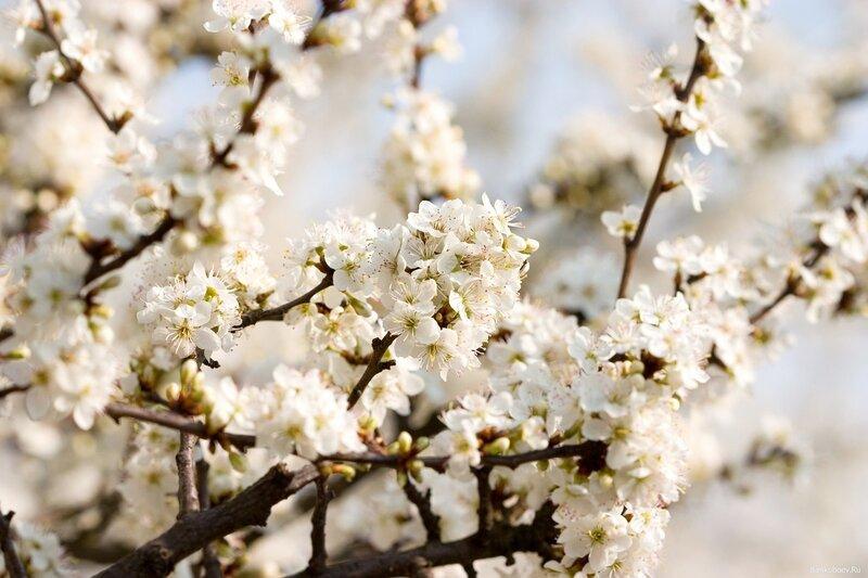 фотообои цветущая сакура:: pictures11.ru/fotooboi-cvetushhaya-sakura.html