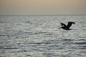 Полёт пеликана на ночевку