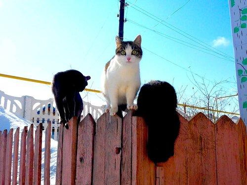 Деревенские кошки