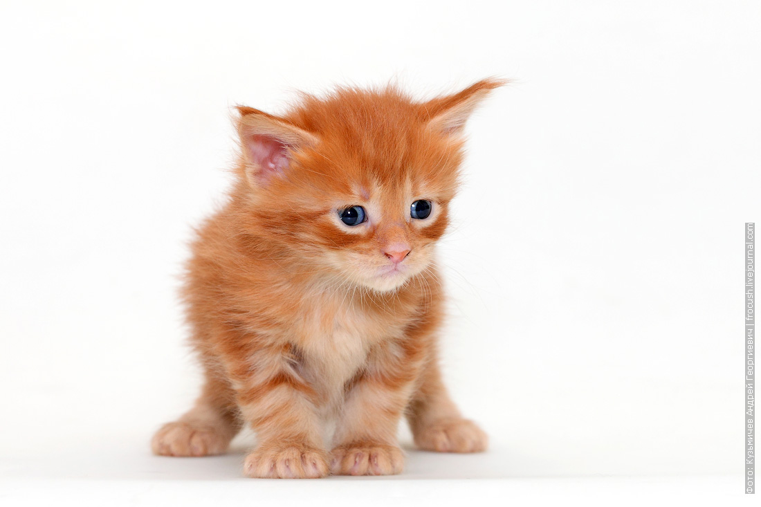 фотография Мейн-кун котенок