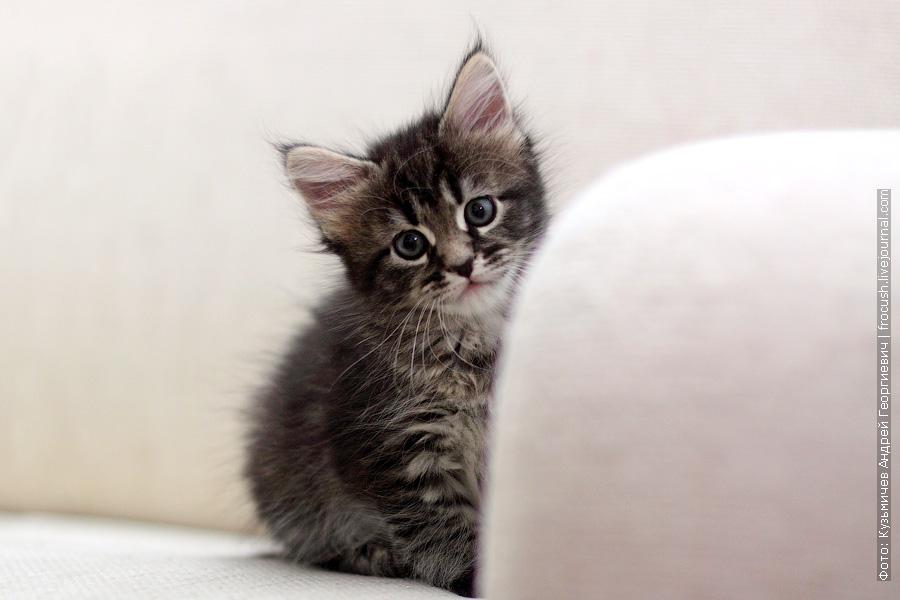 котенок Мейн-кун Лиза