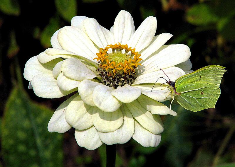бабочка лимонница.