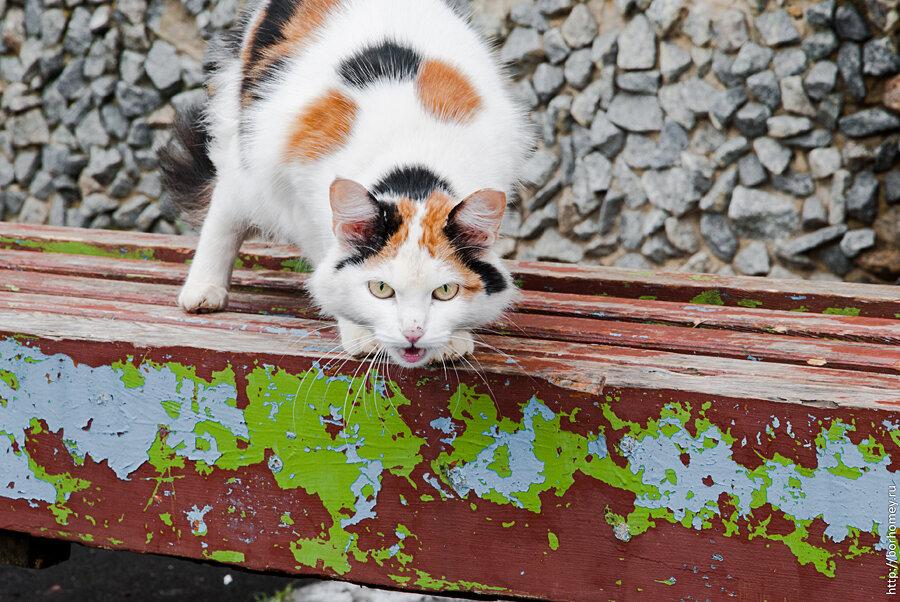 рыже бело черная кошка мяукает