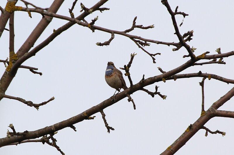 Варакушка  (лат. Luscinia svecica) на ветке дерева - птица с синим вортничком и белым пятном на шее