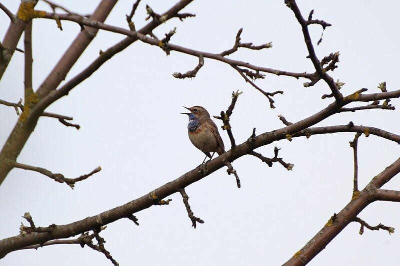 Варакушка  (лат. Luscinia svecica) поёт песню на ветке дерева