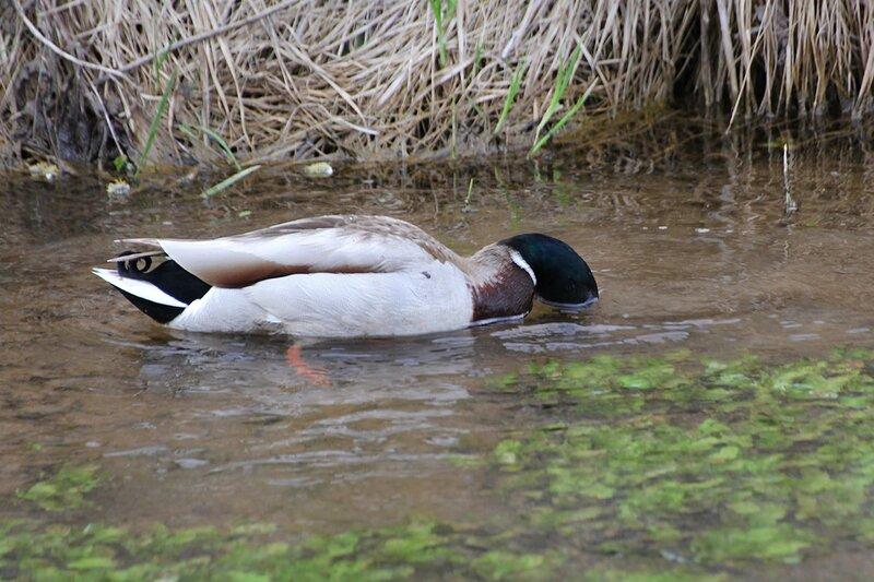 селезень что-то ест на дне речушки, погрузив голову в воду