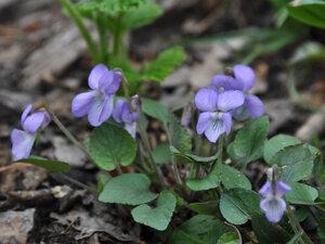 Фиалка скальная (Viola rupestris)